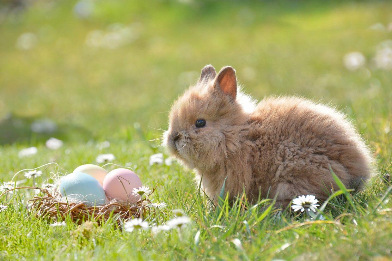 Prawidłowe żywienie królika