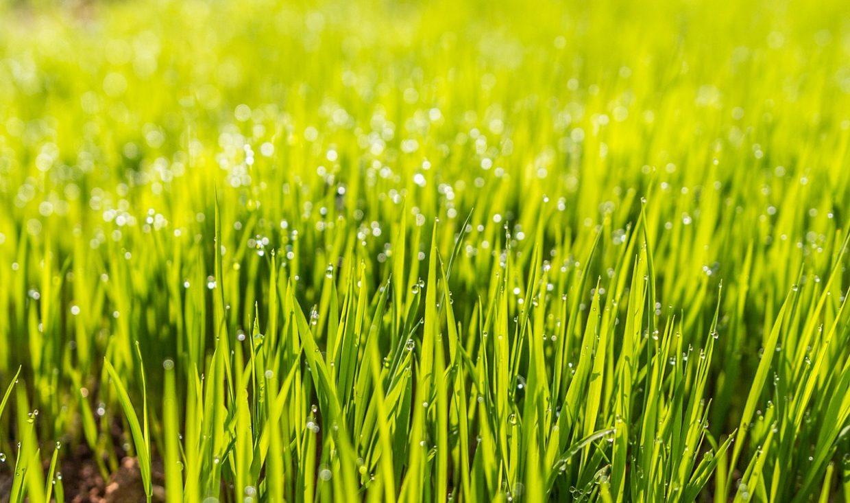 Prawidłowe nawożenie trawnika