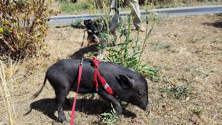 Mikro świnka i piesek