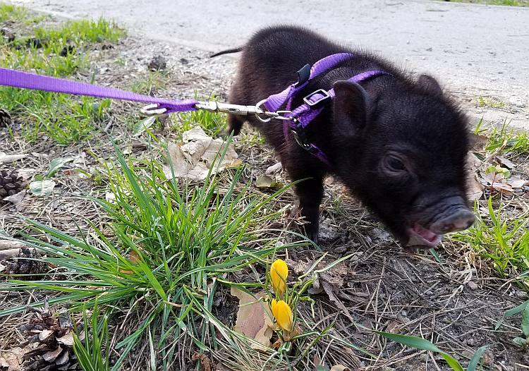świnka miniaturka